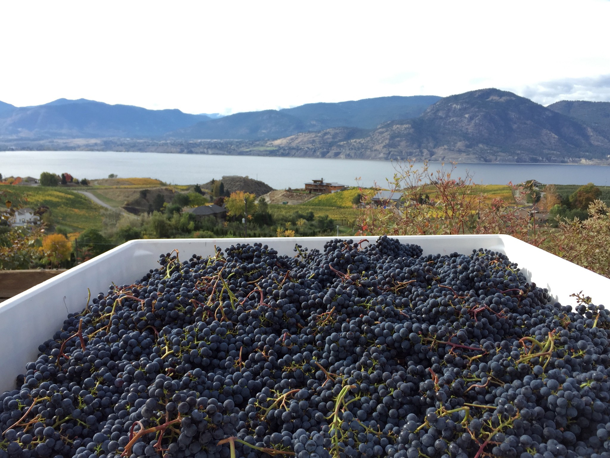 Harvested BC grapes, ready to be pressed.