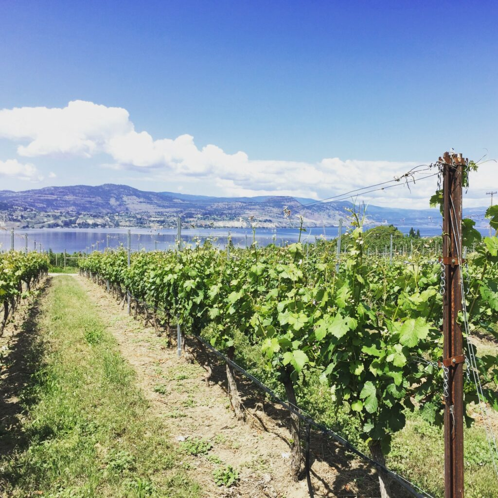 Grapevines in a vineyard overlooking Okanagan Lake.